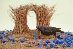 A bowerbird and his collection of blue.